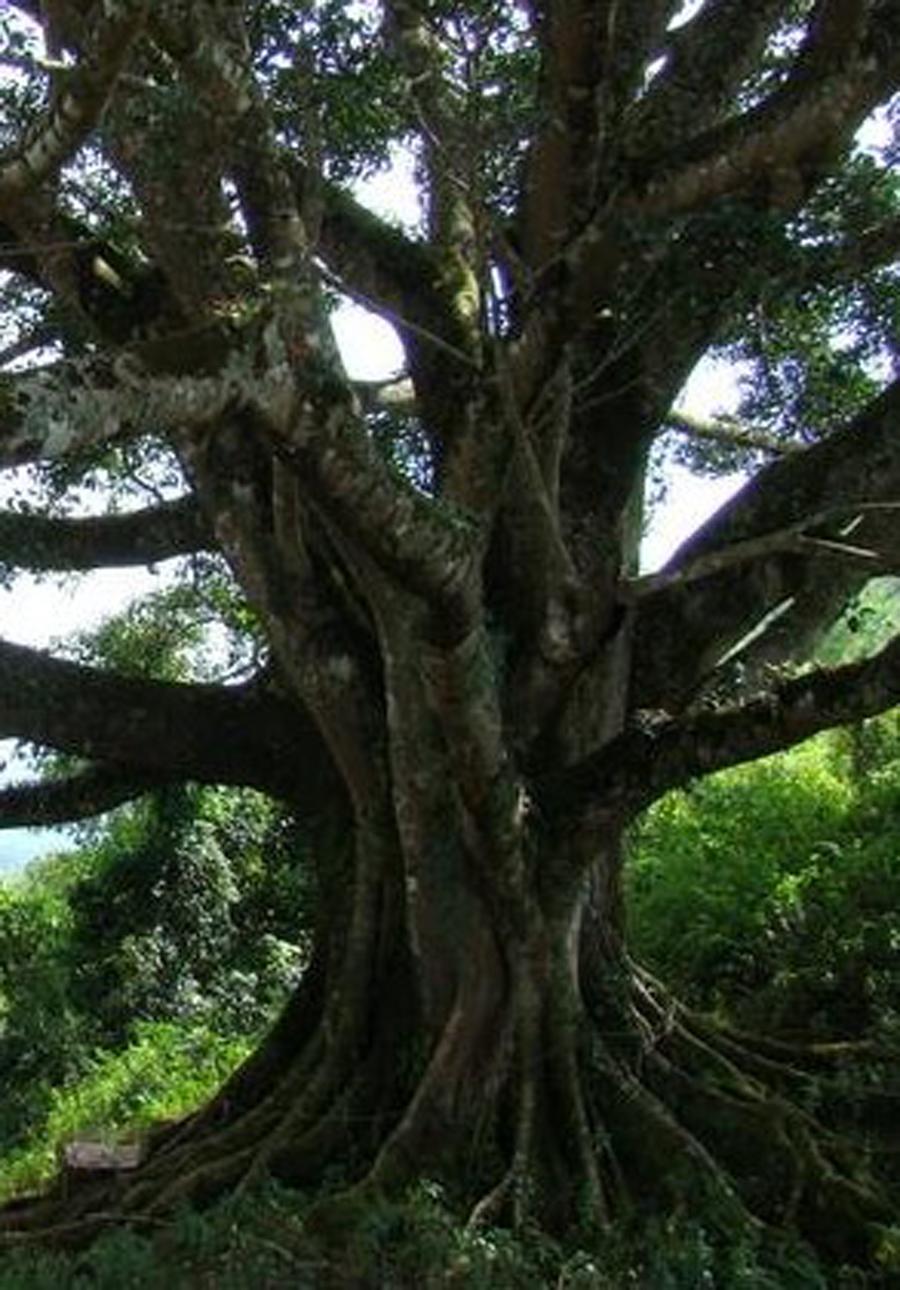 microcarpa 科属:桑科榕属 别名:万年青 树龄:120年 等级:三级古树